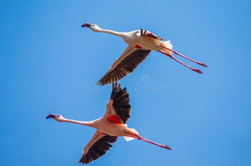 Flamingi w locie Kenja africa Nakuru park narodowy Jeziorna Bogoria Krajowa rezerwa zdjęcia stock
