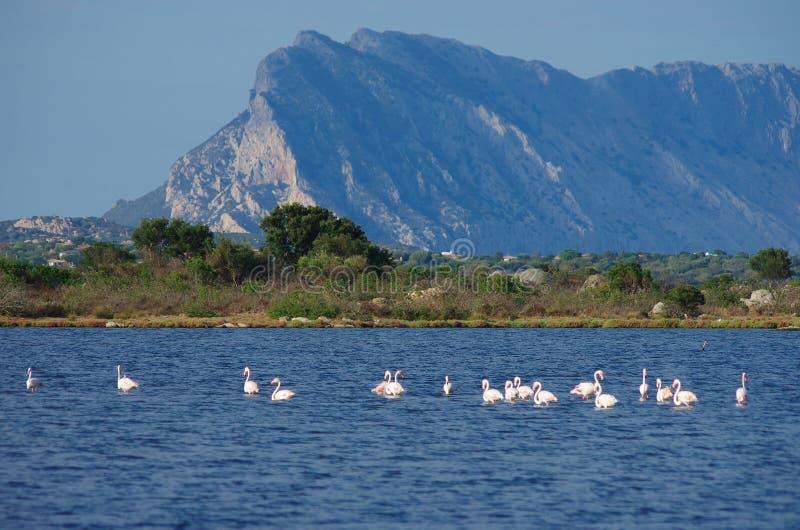 Flamingi w Sardinia zdjęcia stock