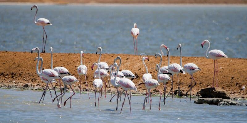 Flamingi w stawach solnych, Arava, Negev, Izrael zdjęcie stock