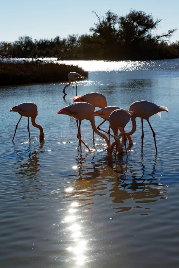 Download Flamingi wielcy obraz stock. Obraz złożonej z staw, przyroda - 41953553