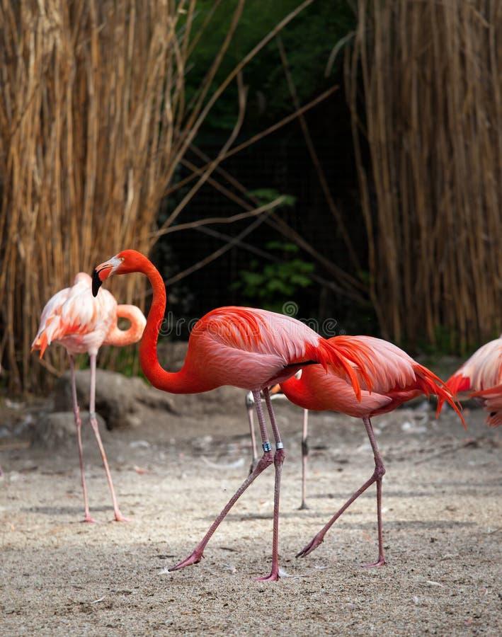 Flamingi zaznaczają z pierścionkiem zdjęcie stock