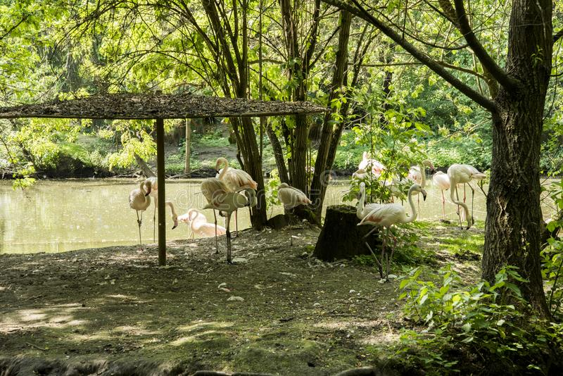 Flamingo är en typ av den vadande fågeln i familjphoenicopteridaen royaltyfria foton