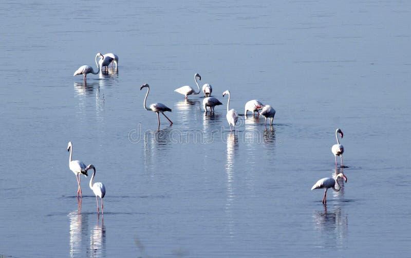 flamingo świetnie zdjęcie stock