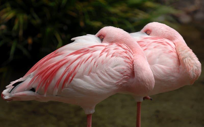 flamingo 005 mniejszym obraz stock