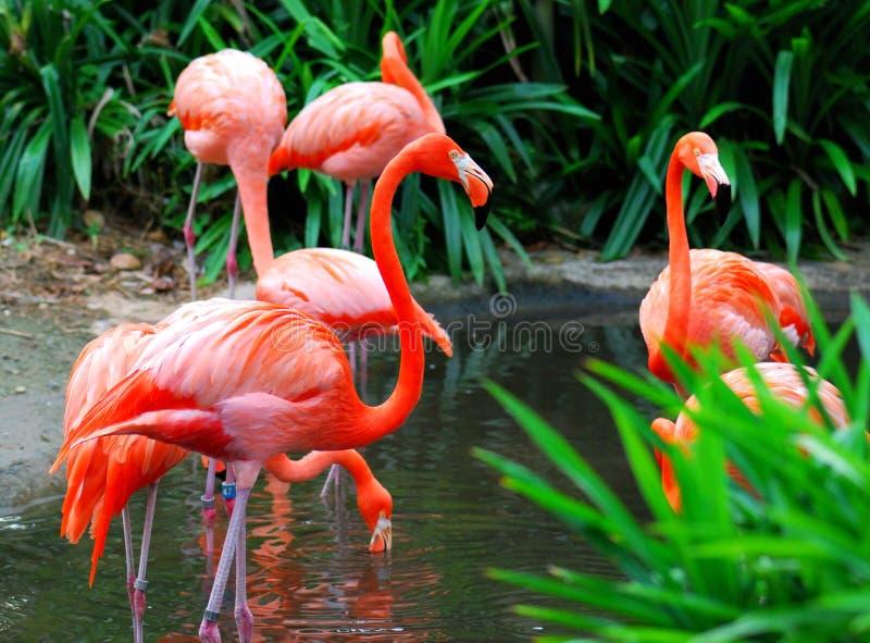 Flamingo 1 stock photography