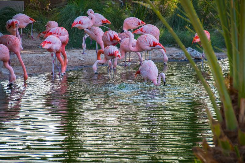 flamingo stock foto