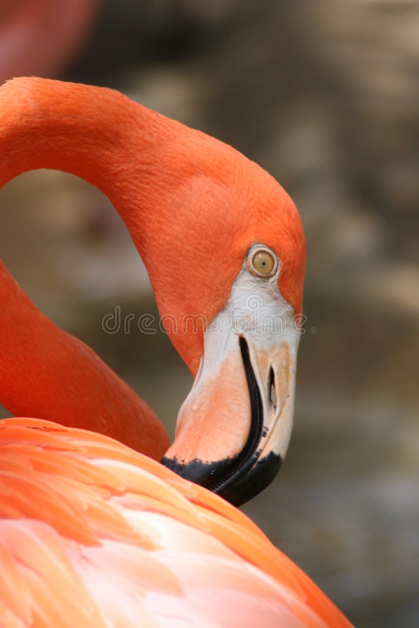 Flamingo! Stock Photo