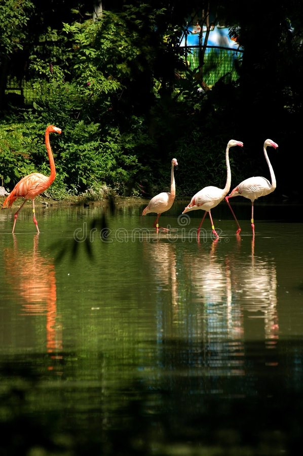 Download Flamingo stock image. Image of subtropics, bird, spring - 1324453