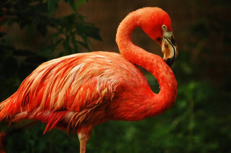 flamingo fotografia royalty free