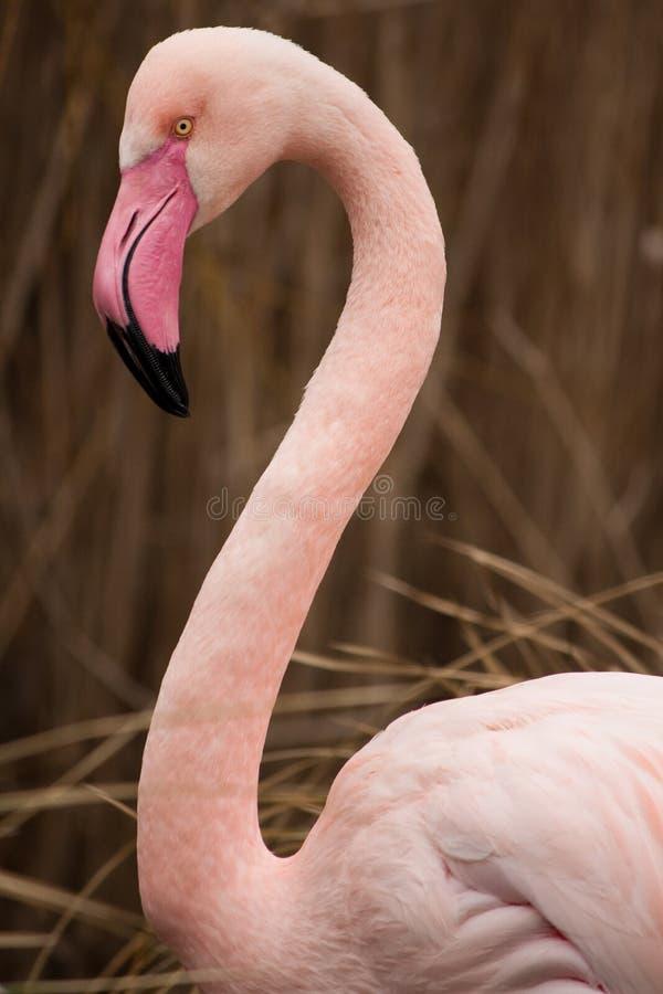 Flamingo. Detail of Flamingo (Phoenicopterus ruber roseu royalty free stock photo