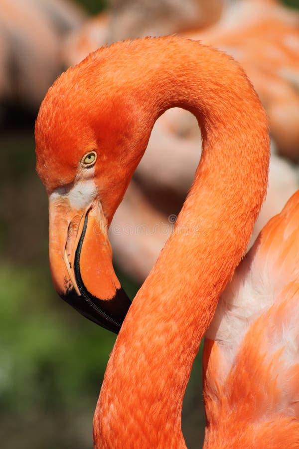 Download Flamingo stock photo. Image of feather, long, animal - 19454882