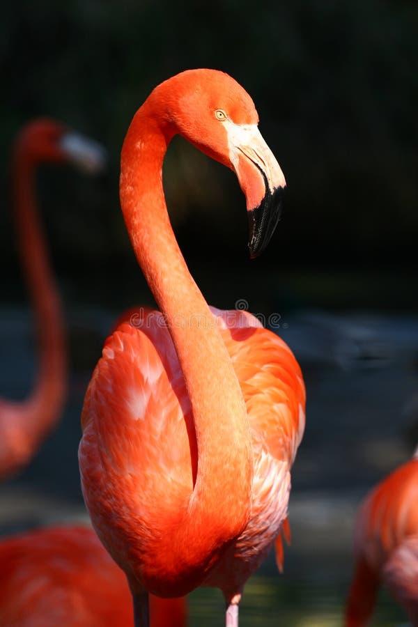 flamingo obrazy royalty free