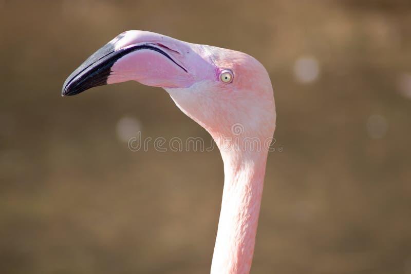 Flamingo Stock Photography
