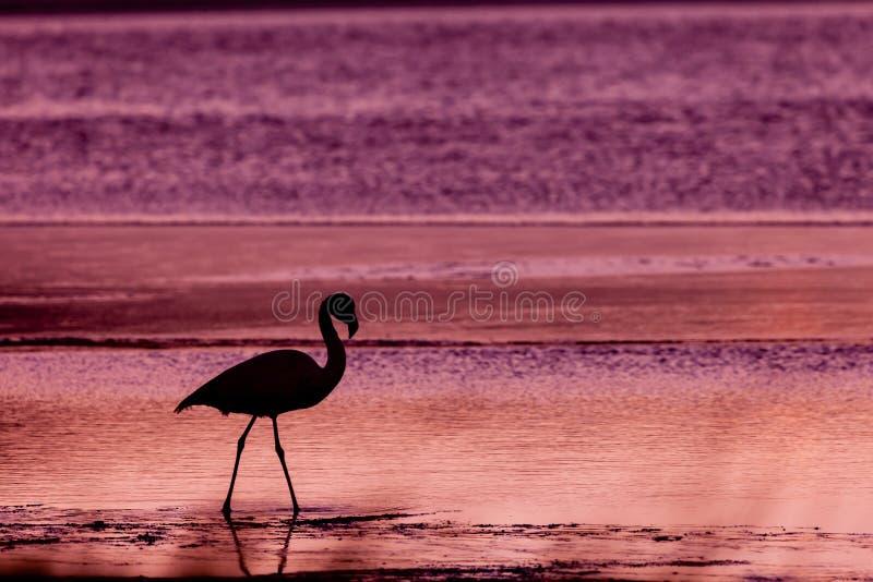 Download Flamingo stock photo. Image of lake, water, edge, sunset - 24284548