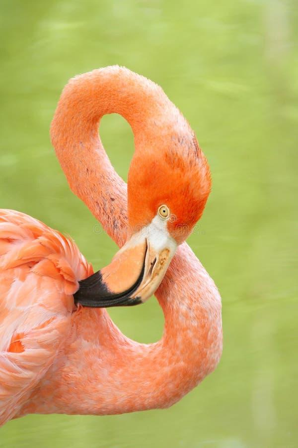 Download Flamingo stock photo. Image of macro, flamingo, close - 25655864