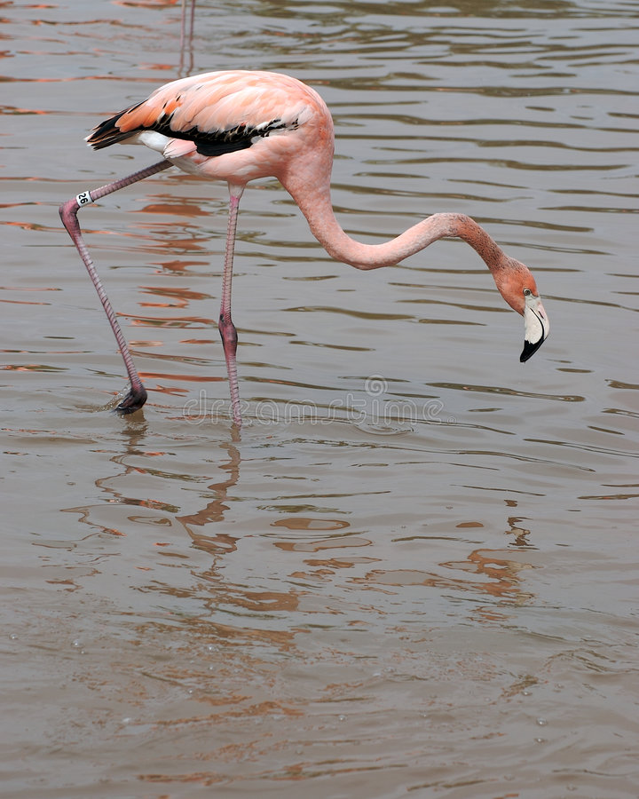 Free Flamingo Royalty Free Stock Photo - 2573835