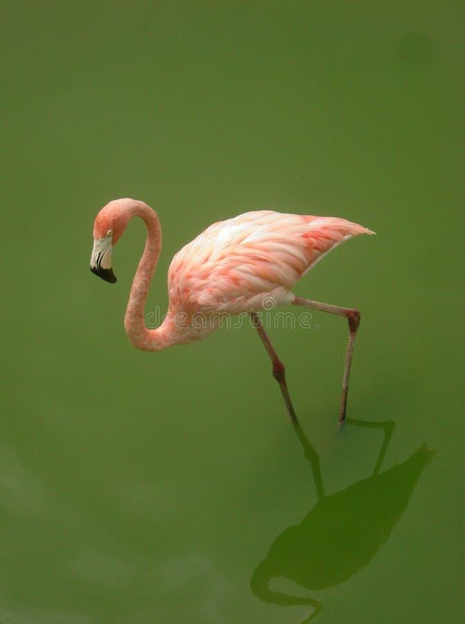 Download Flamingo stock photo. Image of travel, cuba, tropical - 26037496