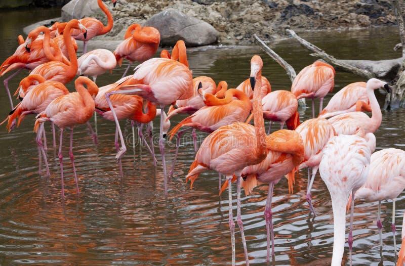 Download Flamingo stock image. Image of safari, africa, nakuru - 26493413