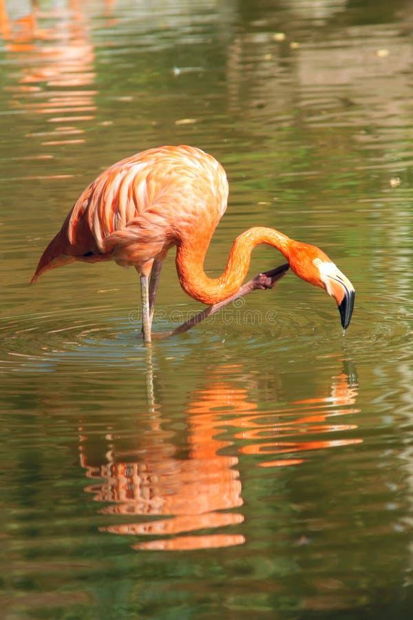Download Flamingo stock image. Image of animals, brid, close, water - 27003425