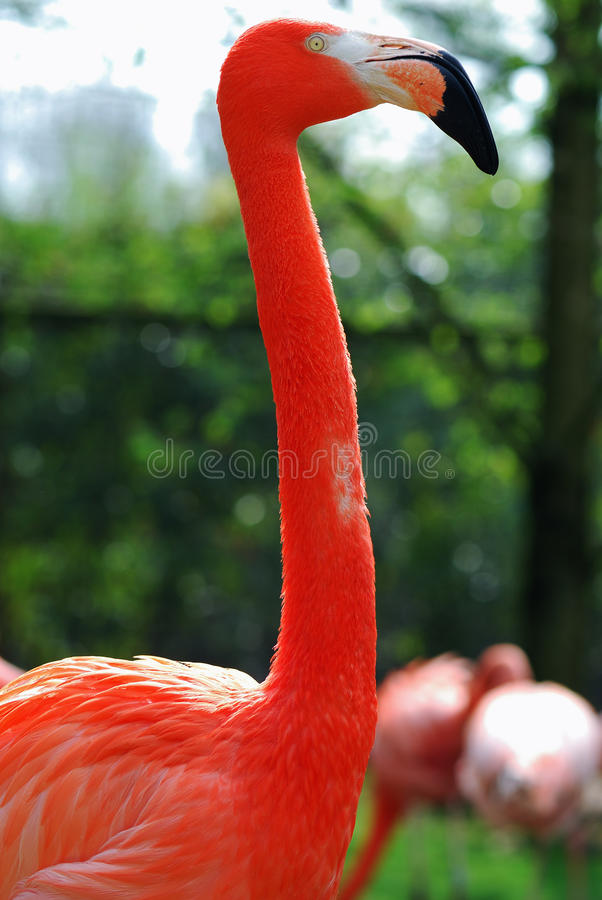 Download Flamingo stock image. Image of group, colorful, chilean - 27189903