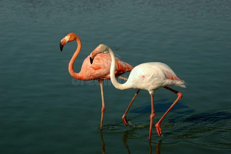 flamingo obraz stock