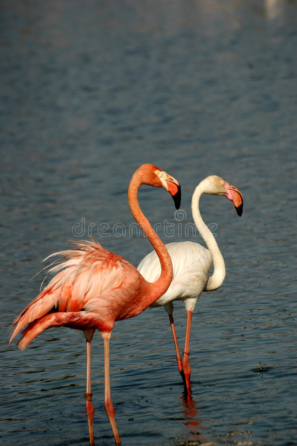flamingo obraz royalty free