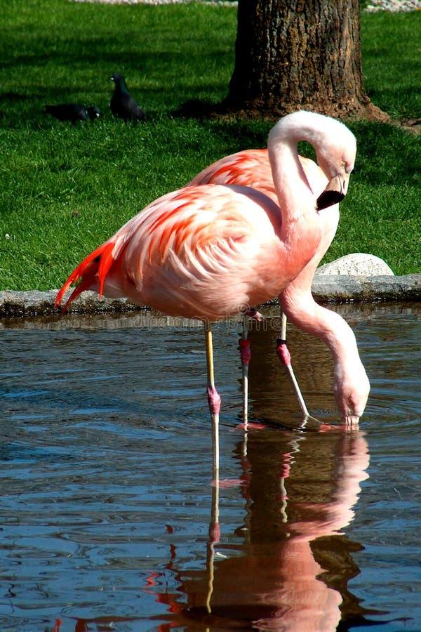 Download Flamingo fotografering för bildbyråer. Bild av husdjur, lake - 27897