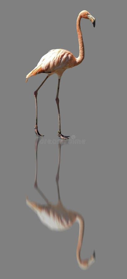 Flamingo 3 ISO. refl grijs stock foto