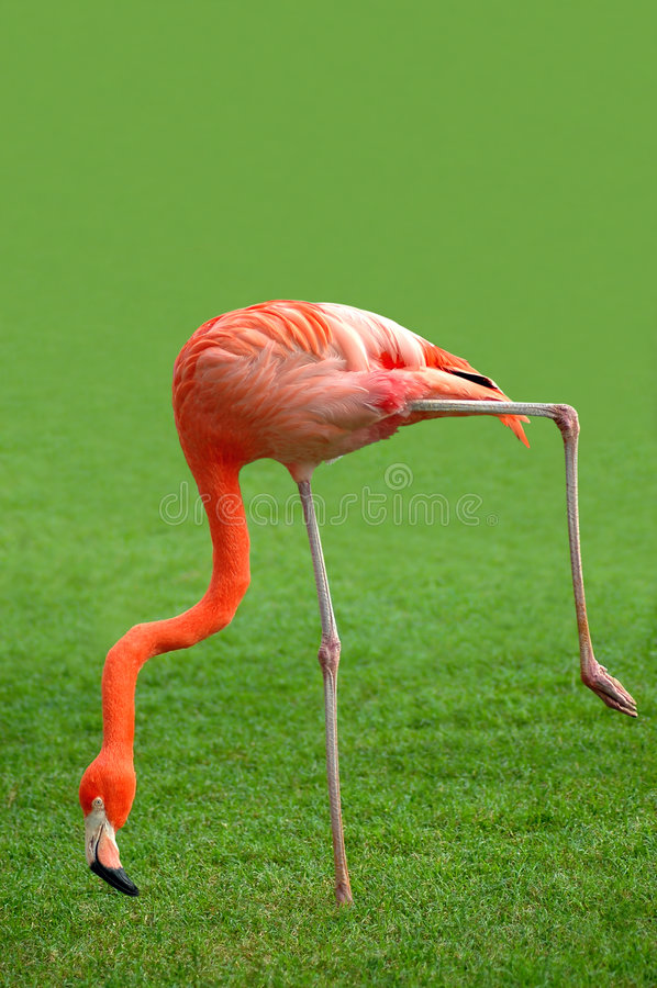 Download Flamingo Royalty Free Stock Photo - Image: 3074695