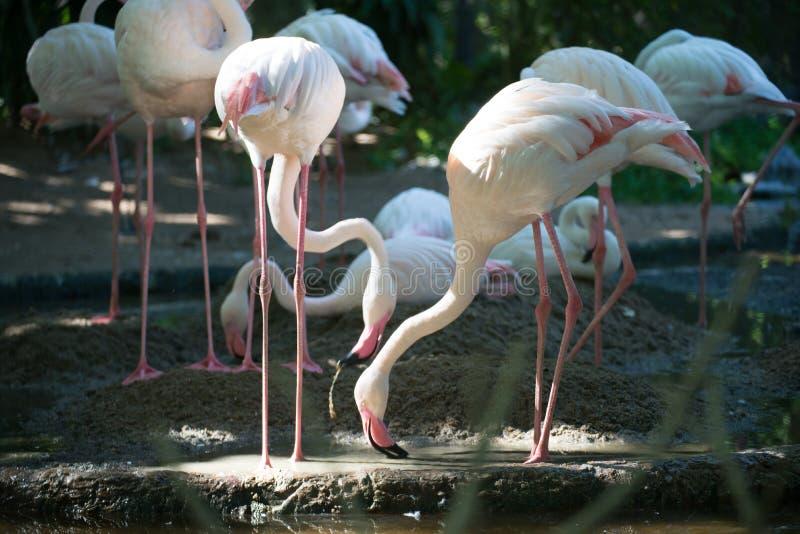 Flamingo arkivfoto