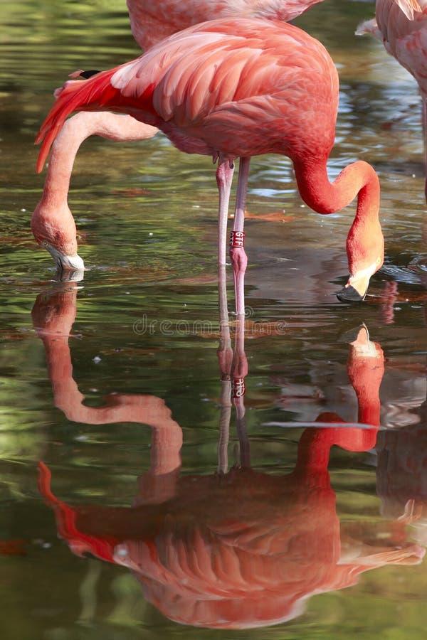 Flamingo Fotografia de Stock Royalty Free