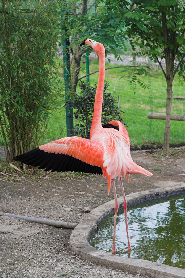 Download Flamingo stock image. Image of nature, feathers, colorful - 3417295