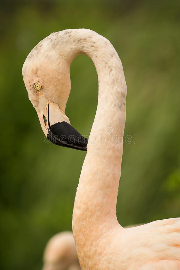 flamingo stockfoto