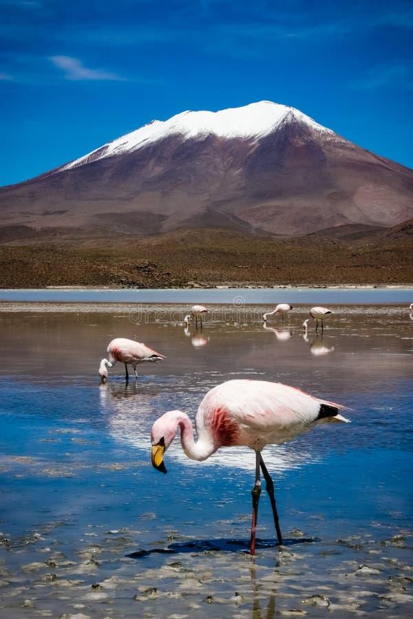flamingo fotografia stock