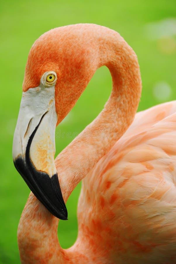 Flamingo. Face of a pink flamingo seen in profile stock photos