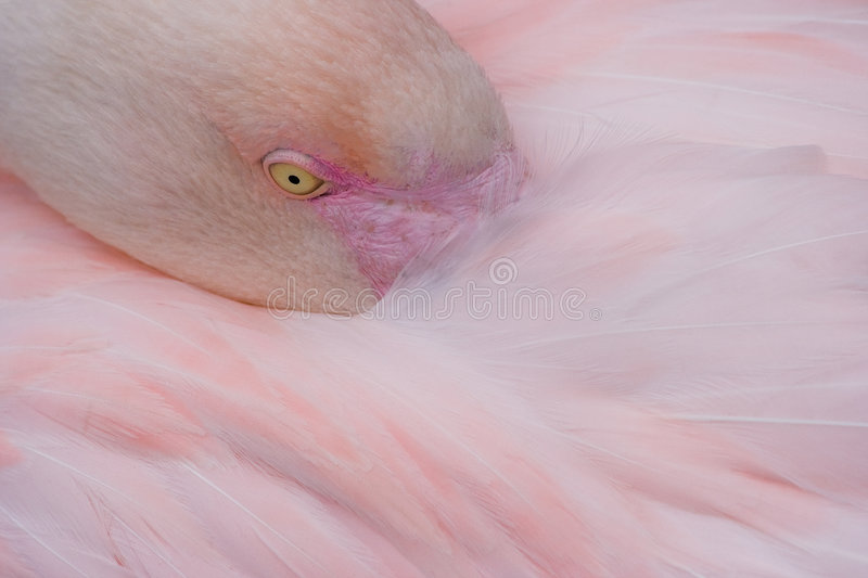 Flamingo. Pink flamingo resting with head between feathers royalty free stock images