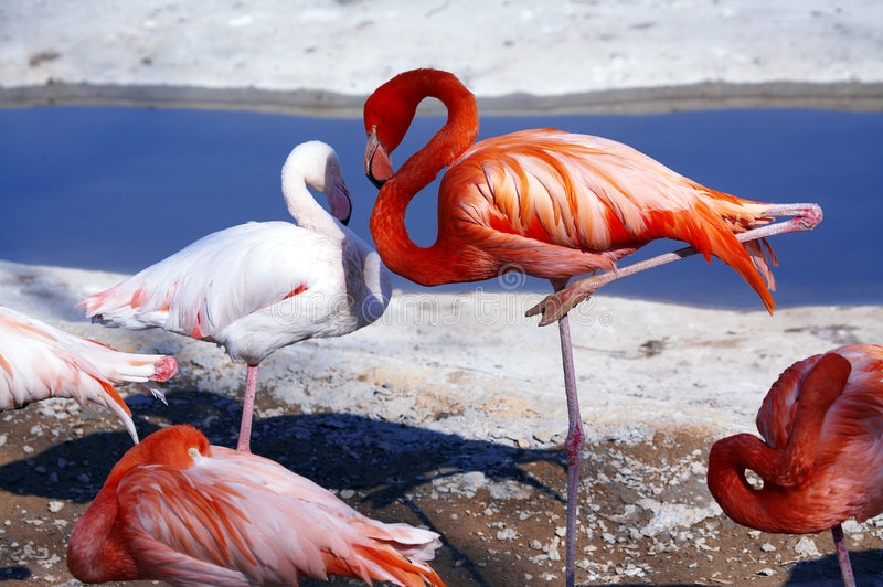 flamingo obrazy royalty free