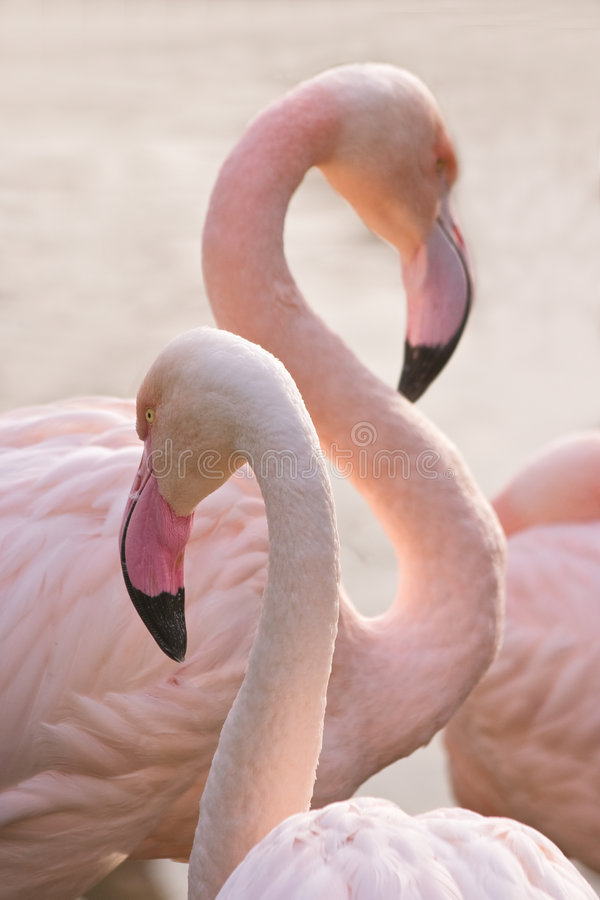Flamingo. 's making toilet on an early summermorning stock photography