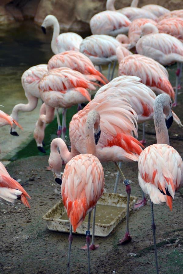flamingo royaltyfria bilder