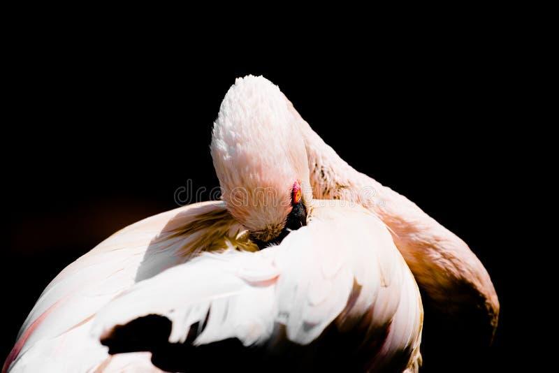 Flamingo. A portrait of a beautiful flamingo royalty free stock image