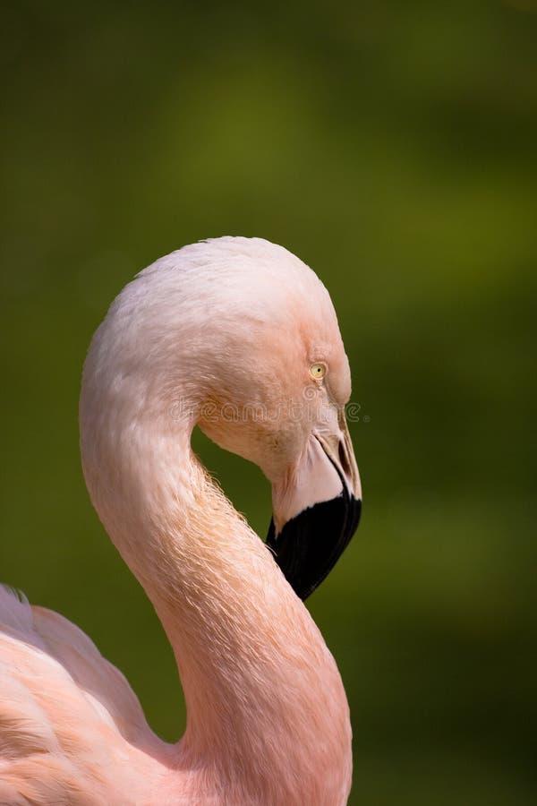Flamingo Royalty Free Stock Photography