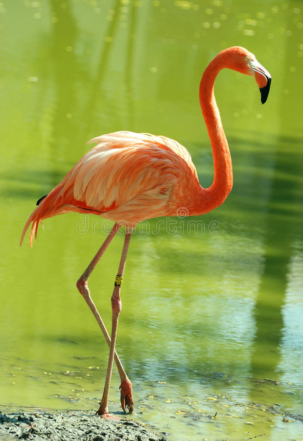 Free Flamingo Stock Images - 9604044