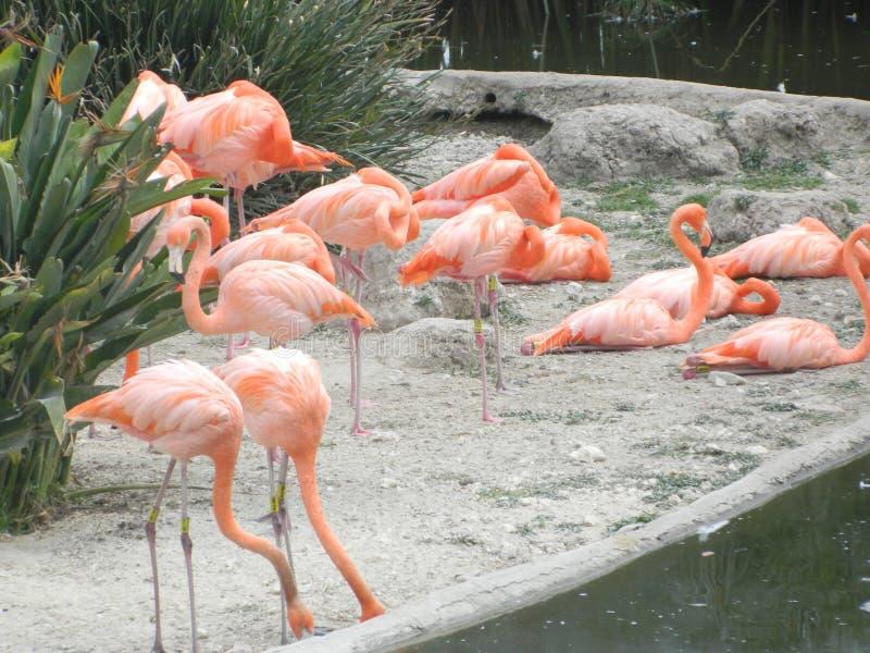 flamingo fotografie stock libere da diritti