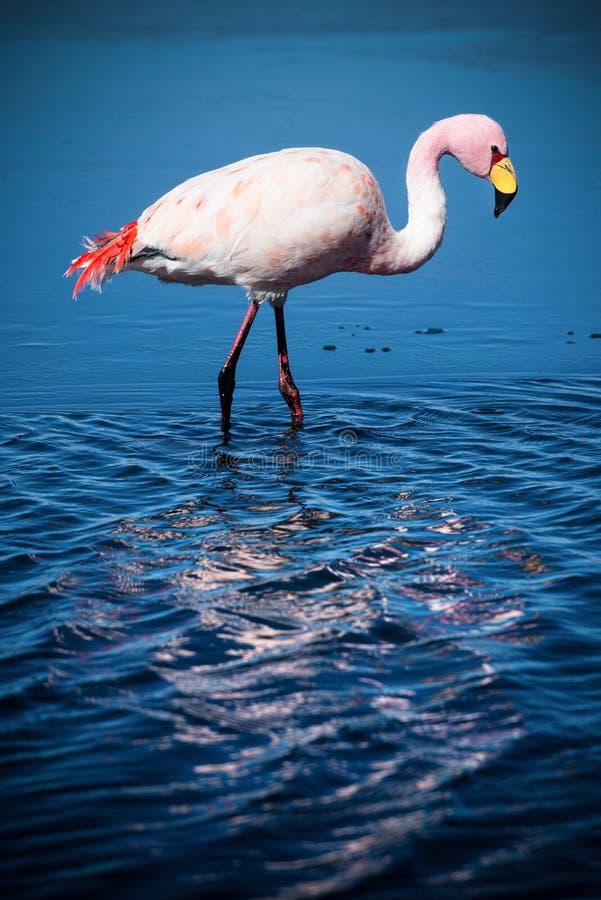 Flamingo in aardhabitat - Laguna Hedionda, Bolivië royalty-vrije stock afbeelding
