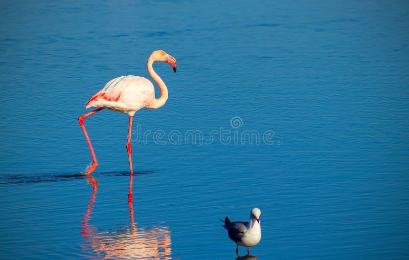 Flamingo africano e pássaro pequeno no lago azul no dia ensolarado nafta imagens de stock