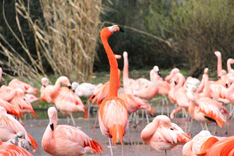 Flamingo agradável em um jardim zoológico fotografia de stock royalty free