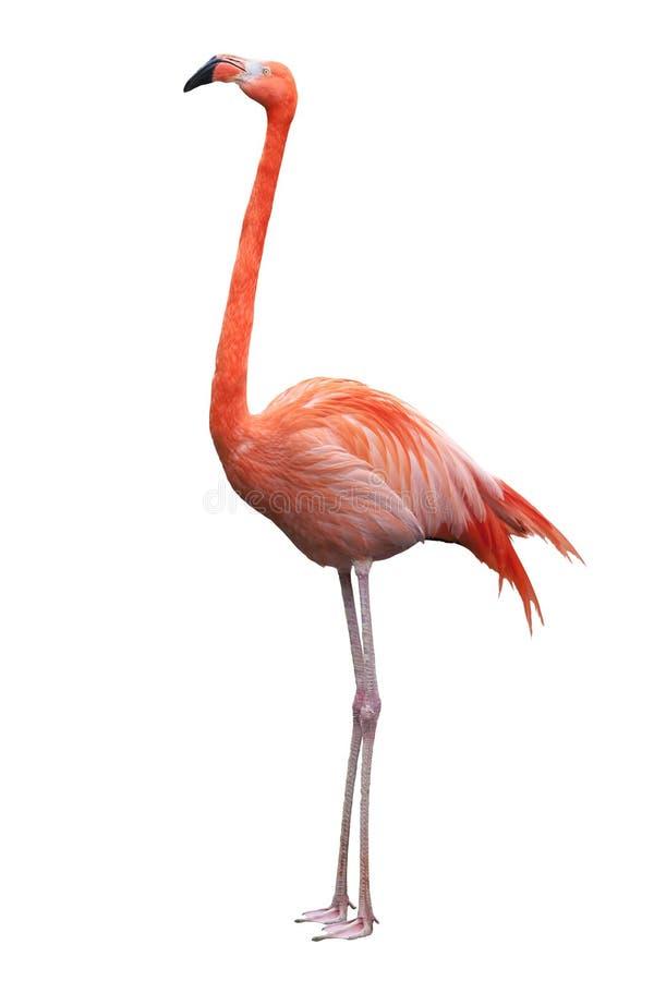 Flamingo americano fotos de stock royalty free