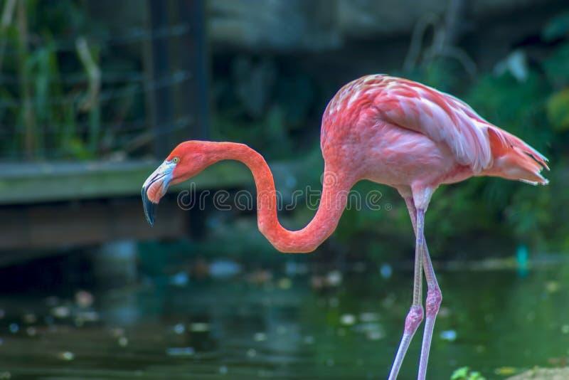 Flamingo americano que procura pelo alimento imagens de stock