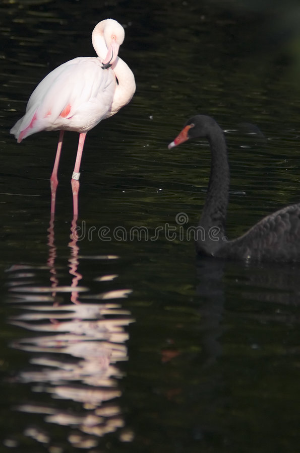Free Flamingo And Black Swan Stock Photography - 3584972