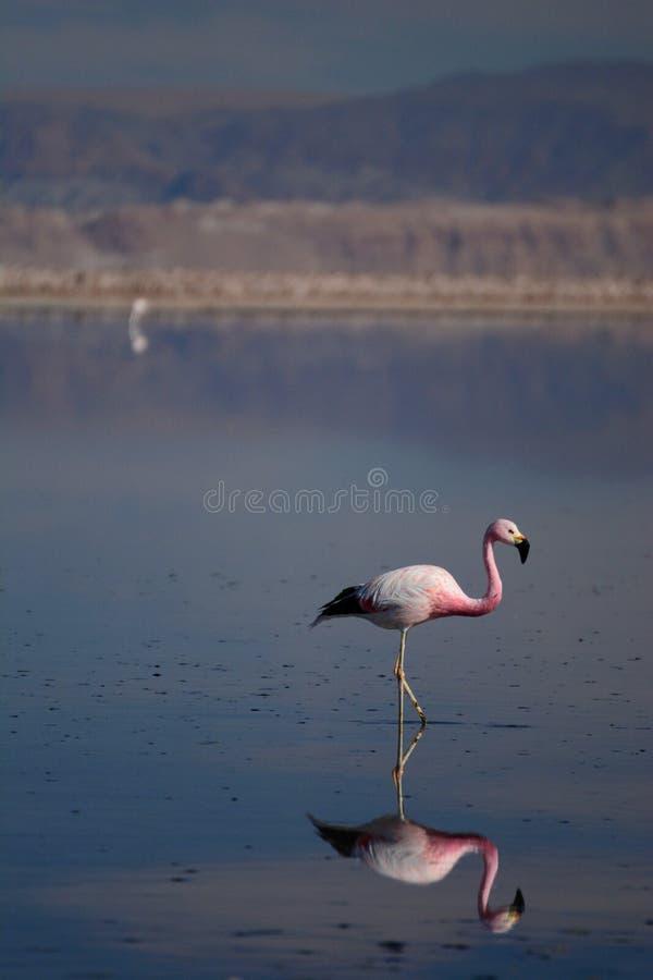 Flamingo andino na lagoa de Chaxa Reserva nacional dos flamencos do Los chile imagem de stock royalty free
